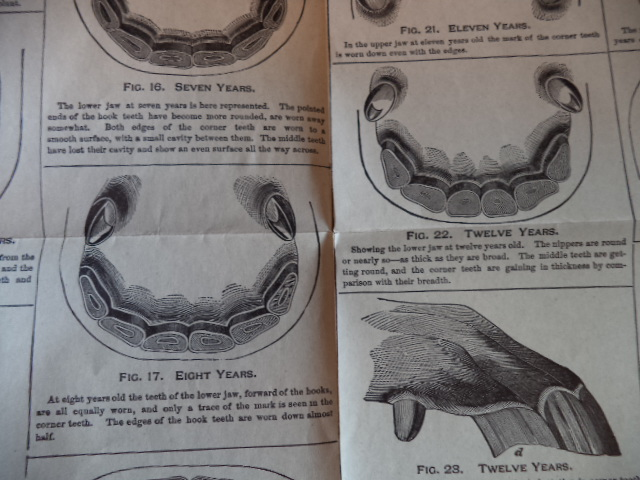 Image for Teeth of the Horse, Chart for Accurately Telling the Age from Six Months to Twenty-Nine Years